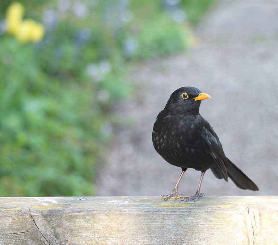 Blackbird, Wiltshire - Wildlife Photographs by Gavin Cologne-Brookes