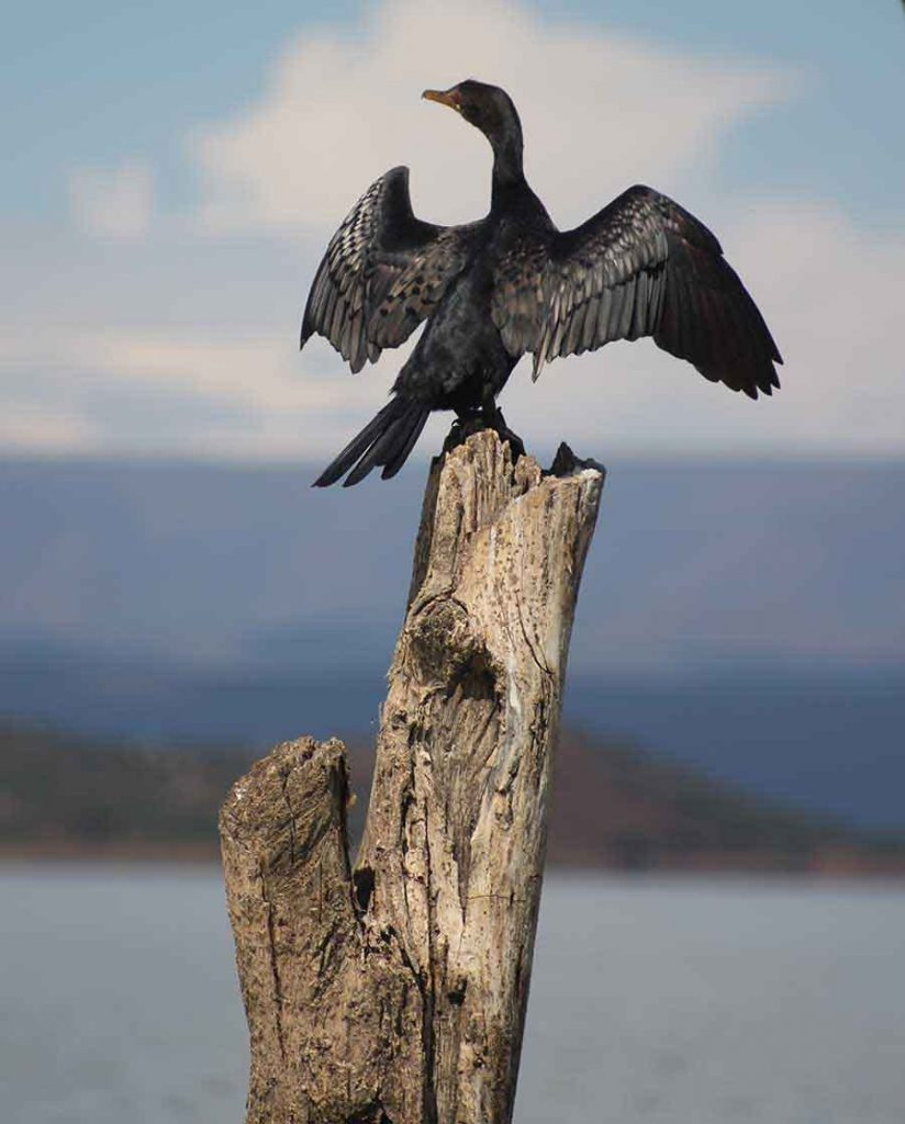 Cormorant, Lake Baringo - Wildlife Photographs by Gavin Cologne-Brookes