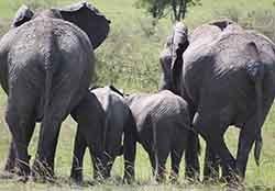 Elephant Family, Masai Maara - Photographs by Gavin Cologne-Brookes
