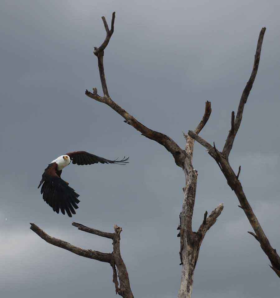 Fish Eagle, Lake Baringo - Wildlife Photographs by Gavin Cologne-Brookes