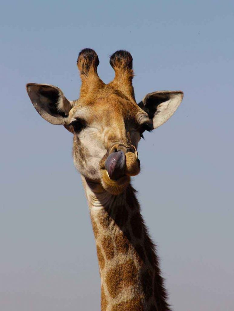 Giraffe, South Africa - Wildlife Photographs by Gavin Cologne-Brookes