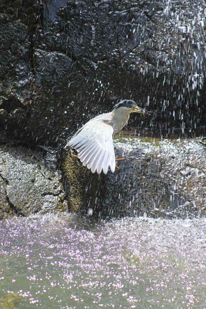 Striated Heron, Jardim Botanico, Rio - Wildlife Photographs by Gavin Cologne-Brookes