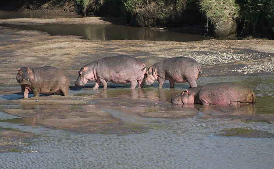 Hippos, Masai Maara - Wildlife Photographs by Gavin Cologne-Brookes