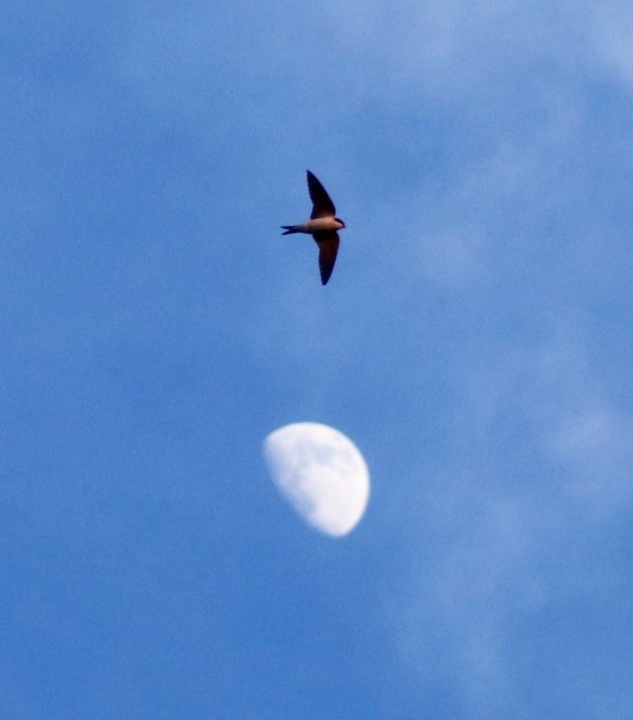 House Martin over the Moon - Wildlife Photographs by Gavin Cologne-Brookes