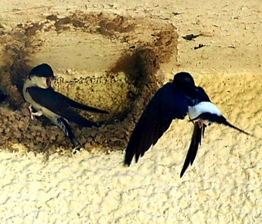 House Martins, Wiltshire - Wildlife Photographs by Gavin Cologne-Brookes