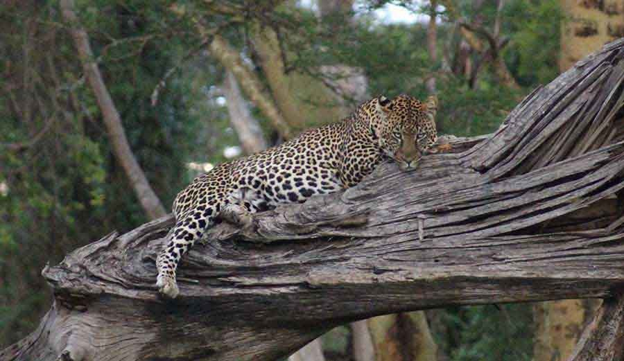 Leopard, Nakuru - Wildlife Photographs by Gavin Cologne-Brookes
