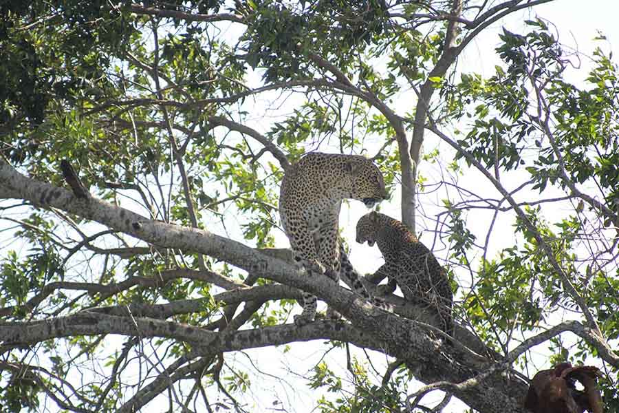 Leopard and Cub, Masai Maara - Wildlife Photographs by Gavin Cologne-Brookes