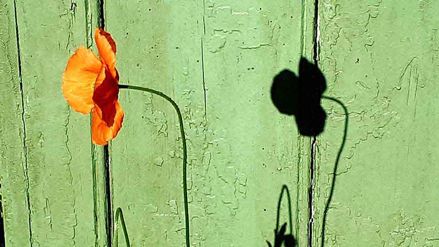 Poppy, Wiltshire - Photograph by Gavin Cologne-Brookes