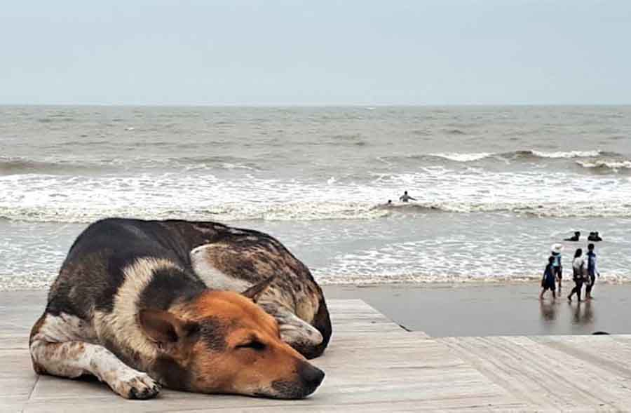 Sleeping Dog, Bay of Bengal - Wildlife Photographs by Gavin Cologne-Brookes